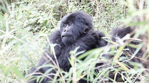 Trekking mountain gorillas
